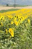 Foto del Grunge del campo floreciente del girasol Fotos de archivo libres de regalías