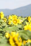 Foto del Grunge del campo floreciente del girasol Foto de archivo libre de regalías