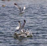 Foto del gull& x27; lotta di s immagini stock libere da diritti