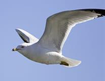 foto del gull& x27; volo di s fotografia stock