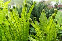 Foto del helecho verde que crece en bosque Foto de archivo libre de regalías