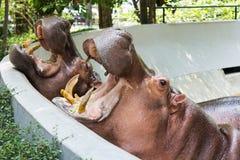 Hippopotamus en el parque zoológico fotografía de archivo