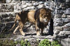 Foto del león cerca de la pared de piedras fotos de archivo libres de regalías
