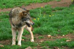 Wolf Photo (canis lupus) fotografia stock