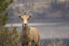 Foto del paisaje de las ovejas de Bighorn en Kelowna Imágenes de archivo libres de regalías