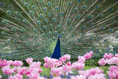 Foto del pavo real hermoso con las flores fotos de archivo libres de regalías