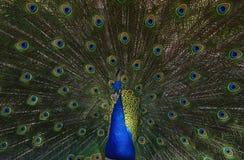 Foto del pavo real que aviva plumas completamente Fotos de archivo
