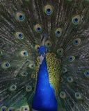 Foto del pavone che smazza le piume completamente Immagini Stock Libere da Diritti