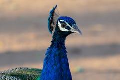 Foto del pavone fotografia stock