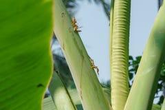 Foto del permesso della banana fotografie stock