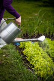 Foto del pezzo di terra coltivato a d'innaffiatura l'insalata della donna con la latta Fotografie Stock Libere da Diritti