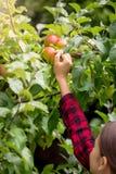 Foto del primer del adolescente que alcanza para la manzana roja fresca en árbol Fotos de archivo libres de regalías