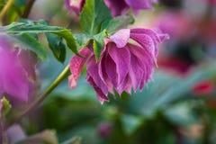 Foto del primer de flores dobles rosadas púrpuras hermosas del florecimiento cuaresmal de los orientalis de Elly Helleborus de la fotos de archivo