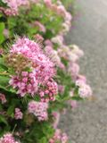 Foto del primer de flores rosadas en el árbol Fotografía de archivo
