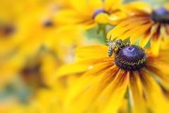 Foto del primer de Honey Bee occidental que recolecta el néctar y el sprea Imagenes de archivo
