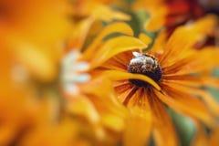 Foto del primer de Honey Bee occidental que recolecta el néctar y el sprea Fotografía de archivo
