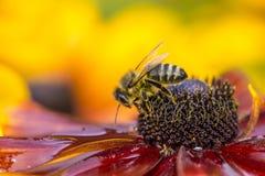 Foto del primer de Honey Bee occidental que recolecta el néctar y que separa el polen Fotos de archivo