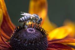 Foto del primer de Honey Bee occidental que recolecta el néctar y que separa el polen en Autumn Sun Coneflower joven (nitida del  Fotos de archivo libres de regalías