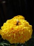 Foto del primer de Honey Bee que recolecta el néctar y que separa el polen Fotos de archivo libres de regalías