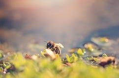 Foto del primer de la abeja de la miel Imagenes de archivo