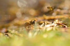Foto del primer de la abeja de la miel Fotos de archivo