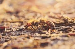 Foto del primer de la abeja de la miel Foto de archivo libre de regalías