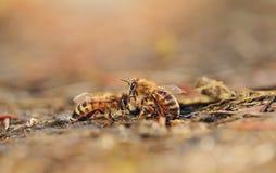 Foto del primer de la abeja de la miel Imágenes de archivo libres de regalías