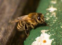 Foto del primer de la abeja en la colonia de la abeja Foto de archivo libre de regalías