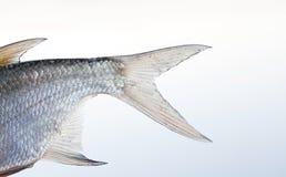 Foto del primer de la aleta de los pescados de la brema opinión texturizada escalas de la macro del modelo de la piel Foco select imagen de archivo