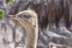 Foto del primer de la avestruz imagen de archivo libre de regalías