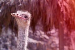 Foto del primer de la avestruz imágenes de archivo libres de regalías