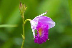 Foto del primer de la flor de bambú de la orquídea en el rosa blanco con el fondo verde borroso fotografía de archivo