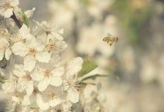 Foto del primer de la flor de la cereza Fotografía de archivo