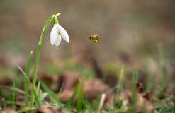 Foto del primer de la flor del snowdrop Imagen de archivo libre de regalías