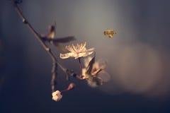 Foto del primer de la flor y de la abeja de la cereza Fotografía de archivo