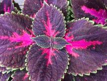 Foto del primer de la planta pintada de la ortiga en verano foto de archivo libre de regalías
