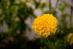 Foto del primer de las flores de la maravilla La flor amarillo-naranja del color Fotos de archivo libres de regalías
