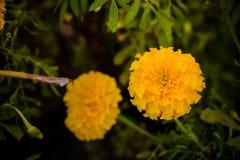 Foto del primer de las flores de la maravilla La flor amarillo-naranja del color Imagenes de archivo