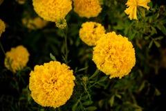 Foto del primer de las flores de la maravilla La flor amarillo-naranja del color Fotografía de archivo libre de regalías