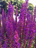 Foto del primer de las flores violetas Fotografía de archivo