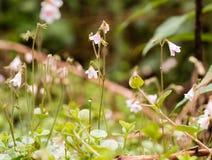 Foto del primer de los twinflowers (borealis de Linnea) en un bosque nórdico imagen de archivo libre de regalías