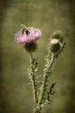 Foto del primer de un wildflower del cardo Fotografía de archivo