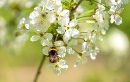 Foto del primer de una abeja del manosear en la flor Foto de archivo libre de regalías