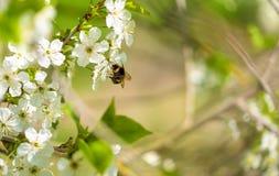 Foto del primer de una abeja del manosear en la flor Fotos de archivo libres de regalías