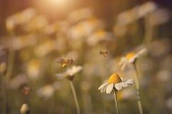 Foto del primer de una abeja en campo de flores Fotos de archivo libres de regalías