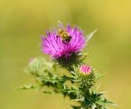 Foto del primer de una abeja en wildflower del cardo Foto de archivo libre de regalías