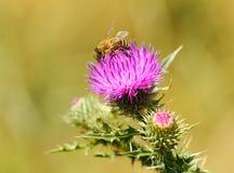 Foto del primer de una abeja en wildflower del cardo Fotografía de archivo libre de regalías