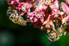 Foto del primer de una abeja La abeja de la miel recoge el primer del polen Foto de una abeja que se sienta en una flor de la ros Fotos de archivo libres de regalías