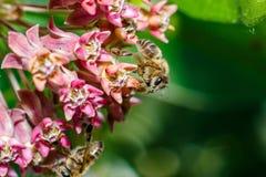 Foto del primer de una abeja La abeja de la miel recoge el primer del polen Foto de una abeja que se sienta en una flor de la ros Foto de archivo libre de regalías
