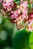 Foto del primer de una abeja La abeja de la miel recoge el primer del polen Foto de una abeja que se sienta en una flor de la ros Imágenes de archivo libres de regalías